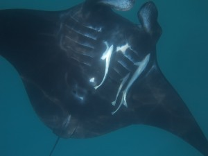 Each Manta Ray has a different marking underneath.